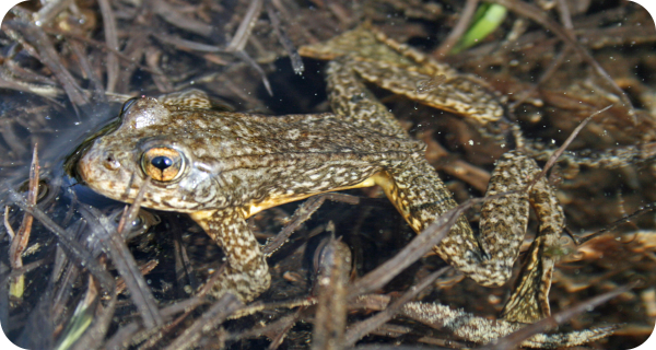 Adult Sierra Nevada yellow-legged frog (Rana sierrae)